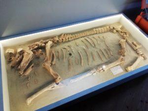 Nicht nur Menschen kommen in Kriegen um, sondern auch Tiere. Hier zu sehen ist das Skelett eines Pferdes vom Südlichen Schlachtfeld 1813 in der Nähe von Güldengossa. Das Skelett ist komplett erhalten inklusive tödlicher Schrapnellkugel.